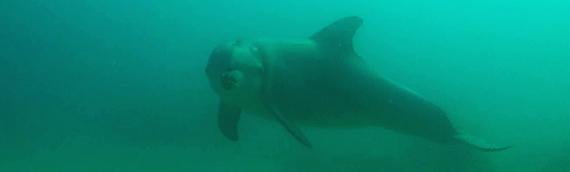 Hallett Cove Dolphin Dive