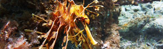 17 Nov: In Search of Leafy Sea Dragons @ Rapid Bay Jetty