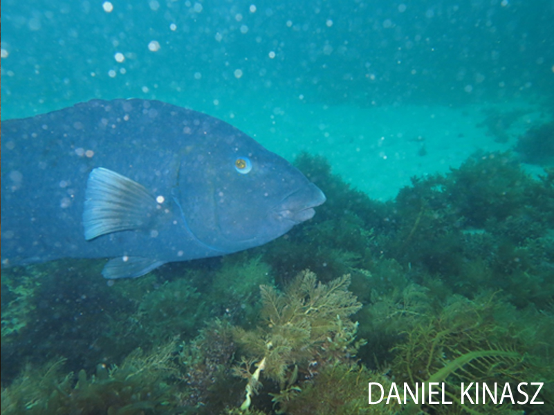 Kangaroo Island Scuba Diving Blue Groper Daniel Kinasz