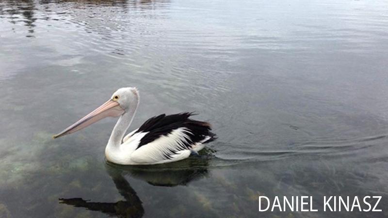 Kangaroo Island Scuba Diving Pelican Daniel Kinasz