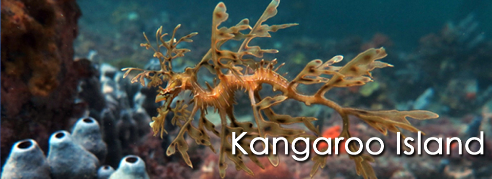 Kangaroo Island Scuba Diving Leafy Sea Dragon Dives by Daniel Kinasz