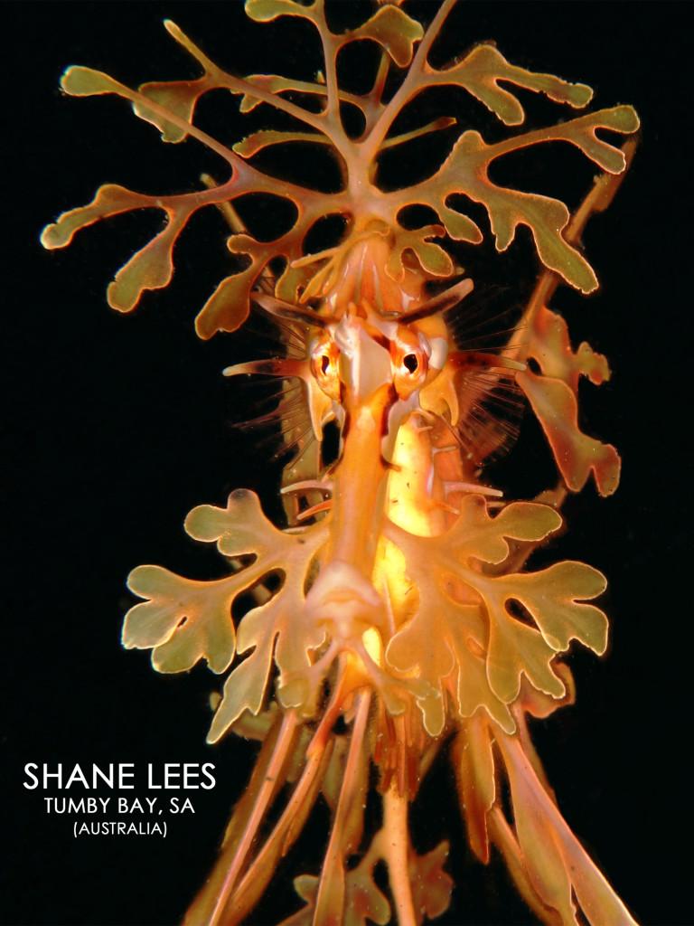 Leafy Sea Dragon at Tumby Bay - Shot by Shane Lees