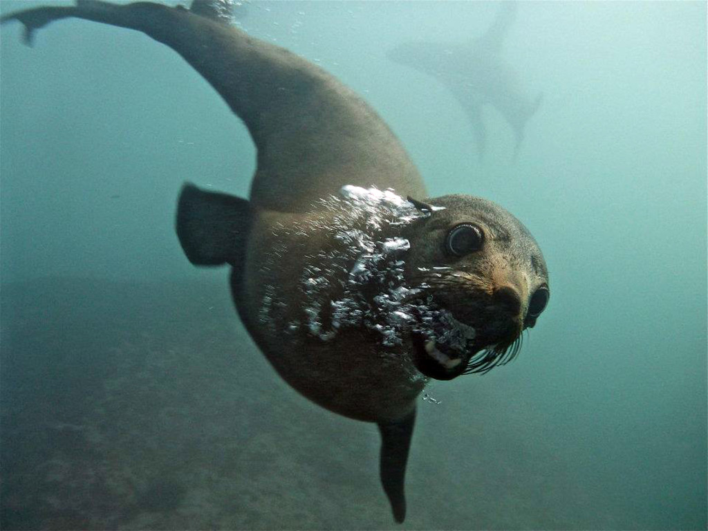 Seals Up Close At Jervis Bay