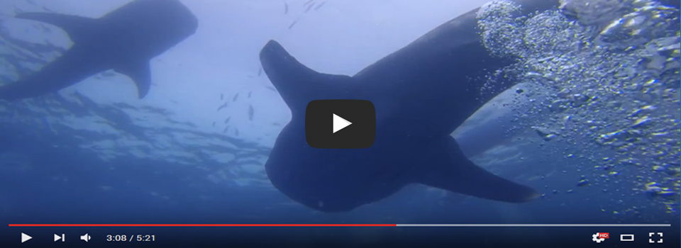 Philippines Whaleshark Trip – Video Reports
