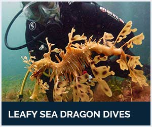 Leafy Sea Dragon Guided Dives with Diving Adelaide in South Australia